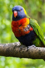 Preview iPhone wallpaper Multi lorikeet, bird, parrot, colorful, branch, tree