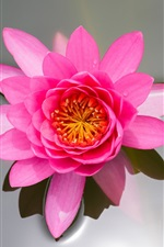 Preview iPhone wallpaper Pink flower, lotus, pond, water lily, leaf