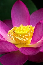 Pink lotus flower close-up, green leaves