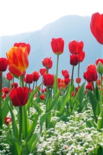 Red tulips, flowers, mountains
