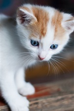 White kitten, blue eyes, look