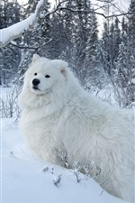 Preview iPhone wallpaper White samoyed dog, snow, trees