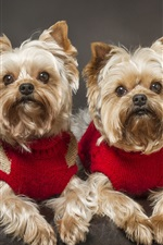 Preview iPhone wallpaper Yorkshire Terrier, dog, twins