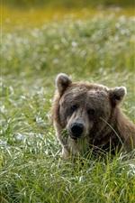Preview iPhone wallpaper Bear eat grass