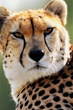 Preview iPhone wallpaper Cheetah, spots, eyes, predator