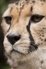 Preview iPhone wallpaper Cheetah, whiskers, eyes, face