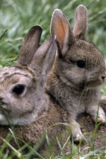 Grass, gray rabbit, bunny