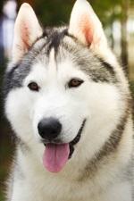 Cão Husky close-up, luz do sol