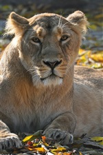 Preview iPhone wallpaper Lioness, leisure, look, predator, leaves, autumn