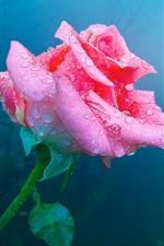 iPhone壁紙のプレビュー 一つはピンクの花、水滴ローズ