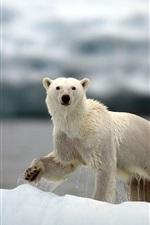 Preview iPhone wallpaper Polar bears, Arctic, snow