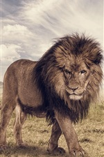 Preview iPhone wallpaper Savanna, lion, animals