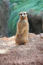 Preview iPhone wallpaper Standing, meerkats, family