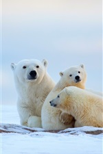 Preview iPhone wallpaper Winter, polar bears, cold, snow