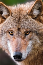 Preview iPhone wallpaper Animal close-up, wolf portrait