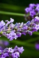 Preview iPhone wallpaper Blue lavender flowers, blur