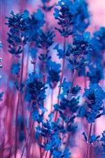 Blue lavender flowers, purple bokeh