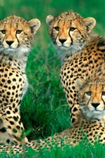 Preview iPhone wallpaper Cheetahs, family, grass, bokeh