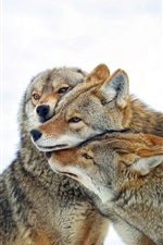 Coyote, three wolves