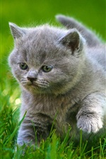 Preview iPhone wallpaper Cute gray kitten, walk, grass