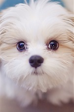 Preview iPhone wallpaper Cute white dog, face, eyes