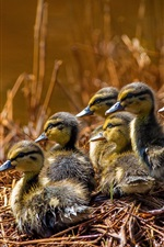 Preview iPhone wallpaper Ducklings, grass