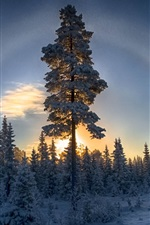 Preview iPhone wallpaper Forest, winter, snow, pine trees, sunset