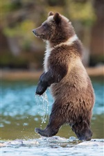 Preview iPhone wallpaper Grizzly bear, predator, Canada, river, water