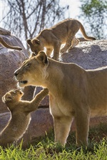 Preview iPhone wallpaper Lioness, cubs, stones