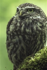 Preview iPhone wallpaper Little owl, moss, bokeh