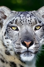 Preview iPhone wallpaper Predator, leopard, face, big cat, bokeh