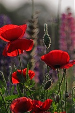Preview iPhone wallpaper Red flowers, poppies, meadow, sky, evening