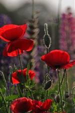 미리보기 iPhone 배경 화면 붉은 꽃, 양귀비, 초원, 하늘, 저녁