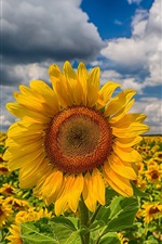 Preview iPhone wallpaper Sunflowers, fields, clouds, sky