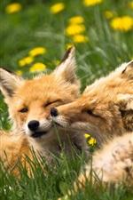 Duas raposas, animais, capim, verão