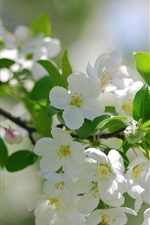 Preview iPhone wallpaper White cherry flowers blossom