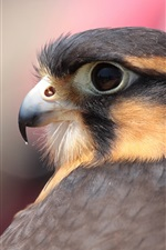 Preview iPhone wallpaper Bird close-up, falcon