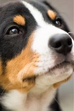 Black white brown, dog, face