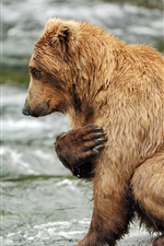Preview iPhone wallpaper Brown bear, water, river, rocks