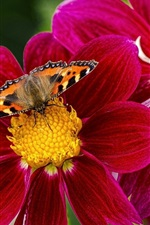 Preview iPhone wallpaper Butterfly, bee, insects, purple flowers, dahlia
