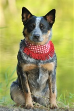 Dog, scarf, bokeh