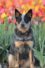 Preview iPhone wallpaper Dog, tulips