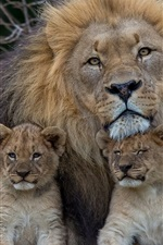 Preview iPhone wallpaper Lion with lion cubs