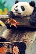 Preview iPhone wallpaper Panda playing, climb, autumn, leaves
