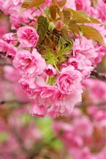 Preview iPhone wallpaper Pink cherry flowers, branches, bloom