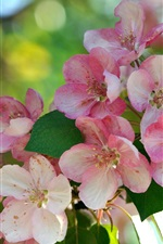 Pink flowers, branch, blossom