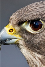 Preview iPhone wallpaper Predator, bird, hawk, head, eyes