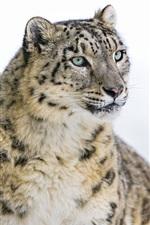 Preview iPhone wallpaper Snow leopard, big cat