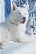 Preview iPhone wallpaper White husky dog