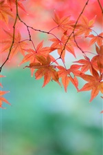 Preview iPhone wallpaper Beautiful red maple leaves, twigs, Japanese